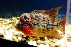 Offering live female flowerhorn fish for sale daily
