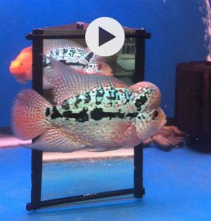 Buy Flowerhorn Magic Mirrors