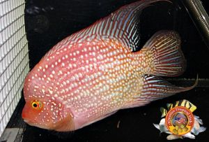 Buy HQ Pearly Super Red Texas Cichlids