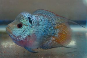 Offering live male flowerhorn fish for sale daily