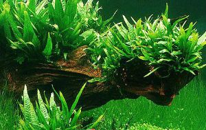 Philippine Java Fern for Sale FREE Shipping