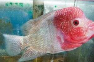 Offering live red lavender fish for sale daily