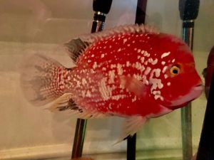 A guide to buying Red Texas Hybrid Cichlids