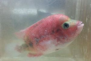 Super Red Monkey (SRM) Flowerhorn for Sale -- Flowerhorn for