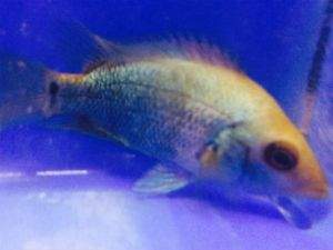 Thai Silk Flowerhorn Cichlid Breeding