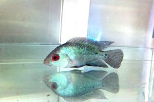 Blue Diamond Flowerhorn Cichlids for sale