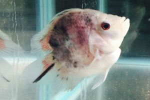 Buy Short body Bonsai Flowerhorn