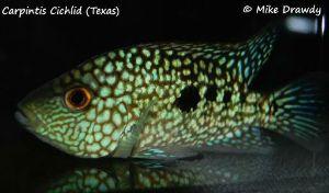 Flowerhorn tank mates include Carpinitis cichlid