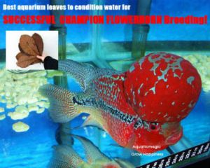 Catappa Leafs for Flowerhorn with FREE Economy Shipping