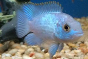 Offering live electric blue acara fish for sale daily