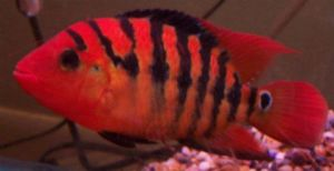 Amphilophus festae are suitable for Flowerhorn tank mates