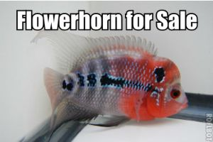 Flowerhorns for Sale Online