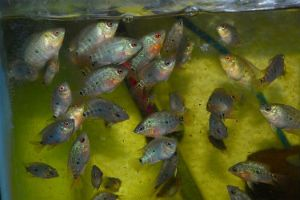 Flowerhorn Fry for Sale -- Flowerhorn for Sale