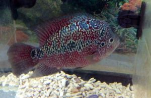 Monsterkok Flowerhorn For Sale Flowerhorn For Sale