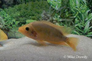 Flowerhorn tank make red devil cichlid