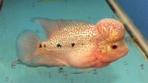 Available is a Thai magma flowerhorn fry from the parents below
