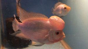 Flowerhorn Thai Silk Fry with Expedited Shipping